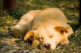 resting-dog